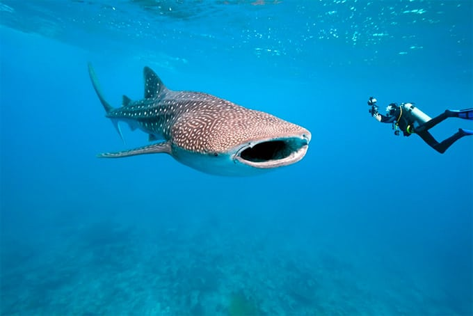 WHALE SHARKS GALAPAGOS